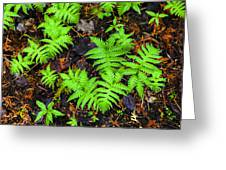 Beech Fern Colony Greeting Card