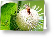 Beetle On Buttonbush Greeting Card