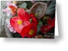 Begonia 20140706-1 Greeting Card
