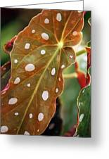 Begonia Maculata 'wightii' Greeting Card
