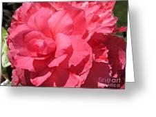 Begonia Named Non-stop Pink Greeting Card