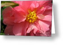 Begonia Named Nonstop Pink Greeting Card
