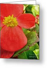Begonia Volumia Greeting Card