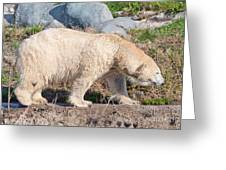 Beige Colored Polar Bear Greeting Card