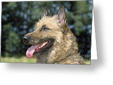 Belgian Laekenois Dog Greeting Card