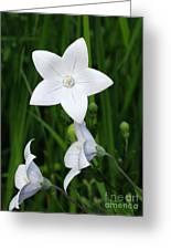 Bellflower - Campanula Carpatica Greeting Card