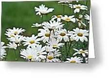 Bellis Perennis Greeting Card