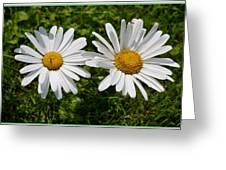 Bellis Perrenis Greeting Card