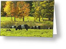 Belted Galloway Cows Grazing On Grass In Rockport Farm Fall Maine Photograph Greeting Card by Keith Webber Jr