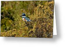 Belted Kingfisher Female Greeting Card