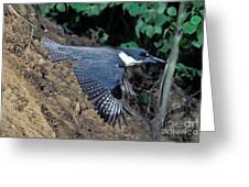 Belted Kingfisher Leaving Nest Greeting Card
