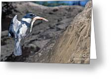 Belted Kingfisher With Prey Greeting Card