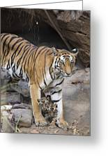 Bengal Tiger And Cubs Bandhavgarh Np Greeting Card