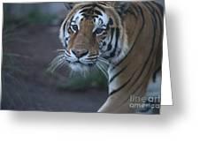 Bengal Tiger Greeting Card by Brenda Schwartz