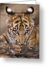 Bengal Tiger Cub And Peacock Feather Endangered Species Wildlife Rescue Greeting Card
