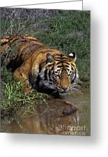 Bengal Tiger Drinking At Pond Endangered Species Wildlife Rescue Greeting Card