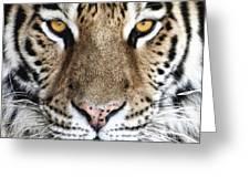 Bengal Tiger Eyes Greeting Card