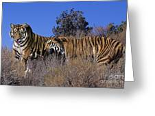 Bengal Tigers On A Grassy Hillside Endangered Species Wildlife Rescue Greeting Card
