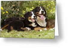 Bernese Mountain Dogs Greeting Card