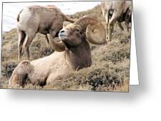 Big Bighorn Ram Greeting Card
