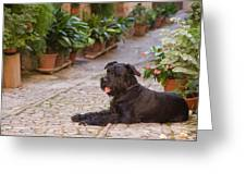 Big Black Schnauzer Dog In Italy Greeting Card