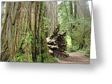 Big California Redwood Tree Forest Art Prints Greeting Card