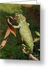big chameleon of Madagascar 20 Greeting Card
