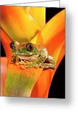 Big Eye Treefrog, Leptopelis Greeting Card