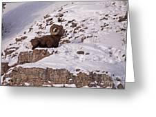 Big Horn Ram   #7036 Greeting Card