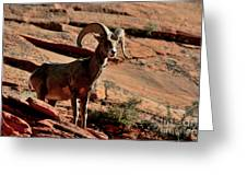 Big Horn Ram At Zion Greeting Card