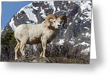 Big Horn Ram In Spring Greeting Card