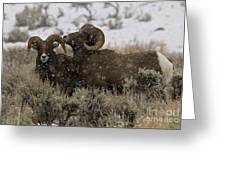 Big Horn Rams In Snow   #2484 Greeting Card