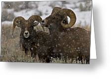 Big Horn Rams In The Snow   #2493 Greeting Card