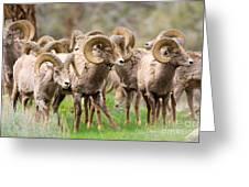 Big Horn Sheep Bachelors Greeting Card
