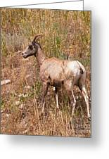 Big Horn Sheep Ewe Greeting Card