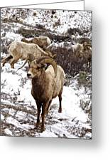 Big Horn Sheep In The Snow Greeting Card