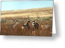 Big Mule Deer Bucks Greeting Card