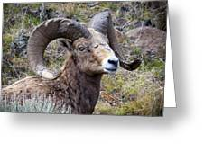 Bighorn Battle Scars Greeting Card
