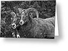Bighorn Brothers In Grey Colorized Greeting Card