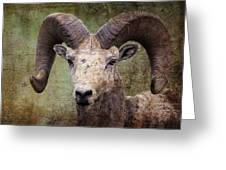 Bighorn Country Greeting Card