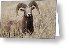 Bighorn Grassland Greeting Card