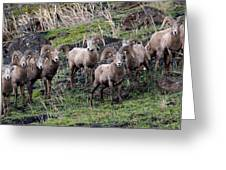 Bighorn Reunion Greeting Card