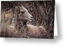 Bighorn Sheep 2 Greeting Card