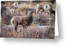 Bighorn Sheep 4 Greeting Card