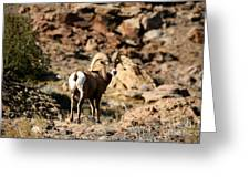 Bighorn Stare Greeting Card