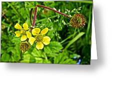 Bigleaf Avens Along Skunk Cabbage Trail In Mount Revelstoke National Park-british Columbia    Greeting Card
