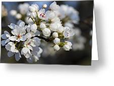 Billows Of Fluffy White Bradford Pear Blossoms Greeting Card