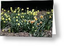 Biltmore Daffodils Greeting Card