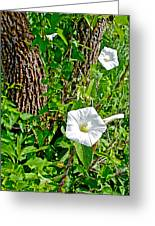 Bindweed In Pipestone National Monument-minnesota Greeting Card