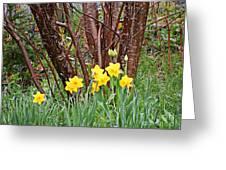 Birch And Daffiodils Greeting Card